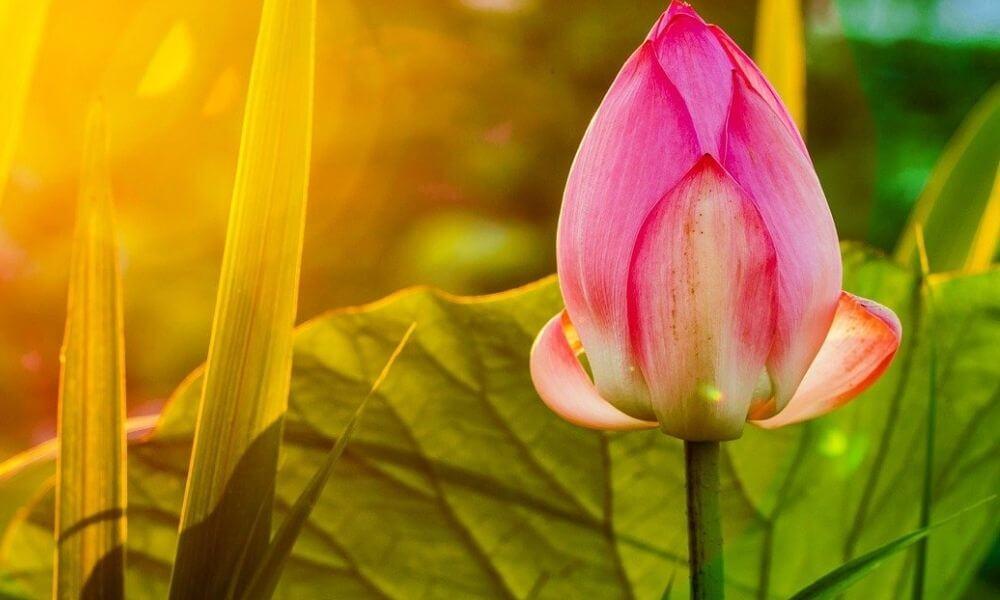 Remény, coaching célok megvalósítása, GRIT, lótuszvirág bimbó a fényben.