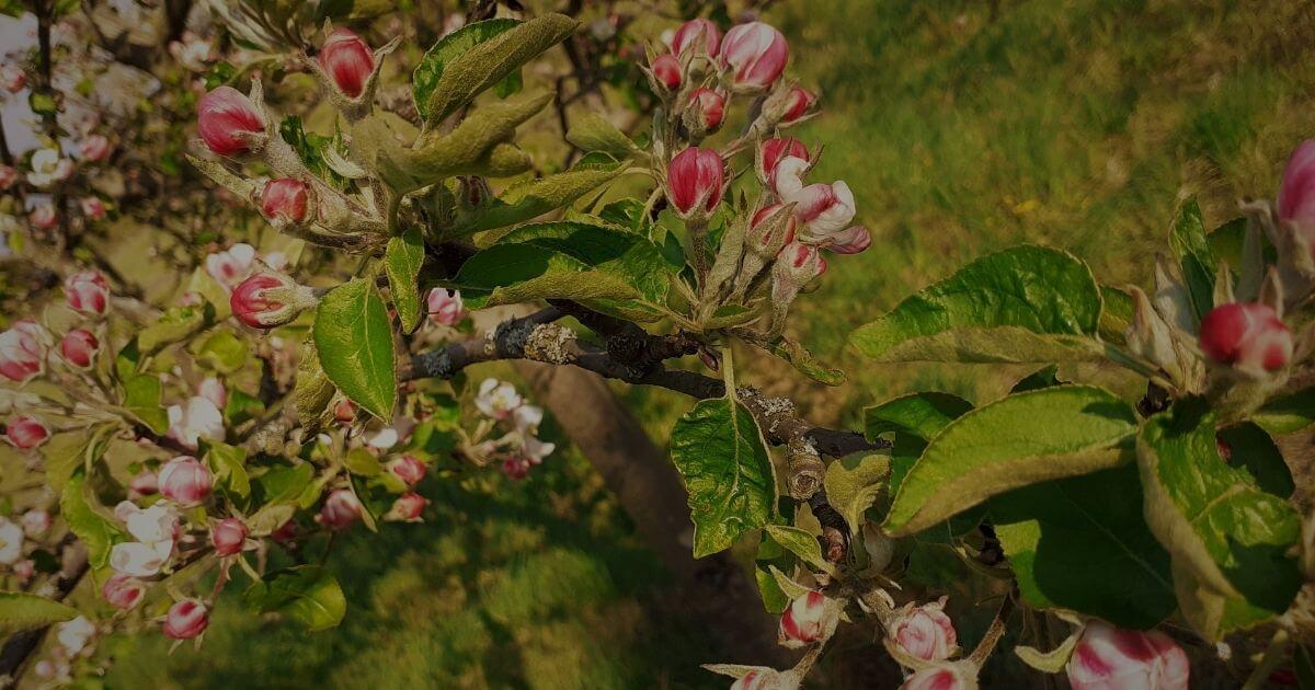 almafa, természet ereje, föld, energia, töltődés, coaching